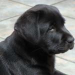 vendo-cachorros-labradores-negros-y-chocolates_854a21e6eb_3