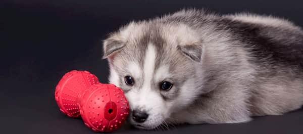 mannelijke husky puppy