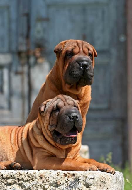 shar pei grote honden